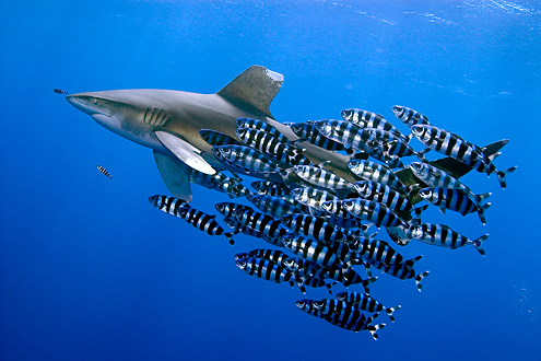 This image is about stunning behaviour underwater and helps to dispel the myth of sharks as people see a shark interacting with other species. The image is an award winner 2007.